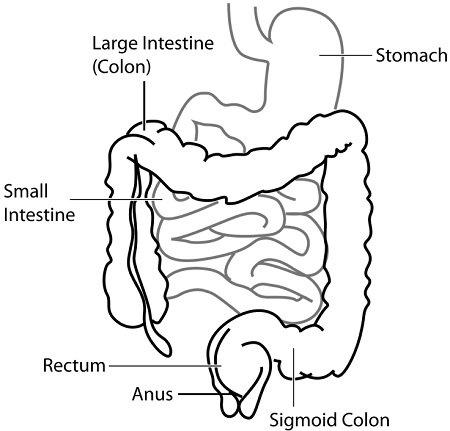 human intestinal system