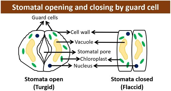 stoma opening and closing by guard cells