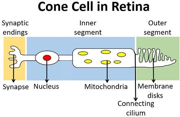 cone cell in retina