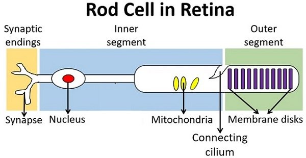 rod cell in retina