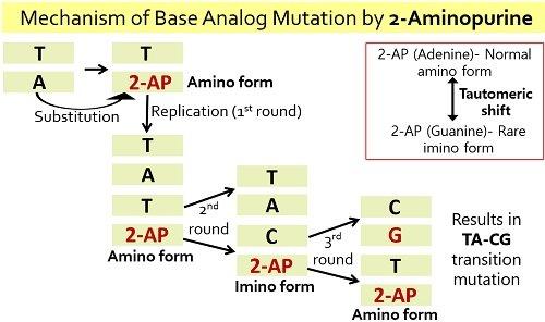 base analog mutation by 2-aminopurine