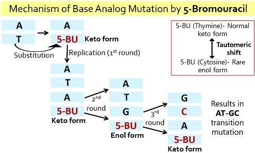 base analog mutation by 5-bromouracil