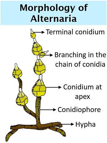 morphology of alternaria