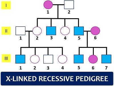 X-linked recessive pedigree