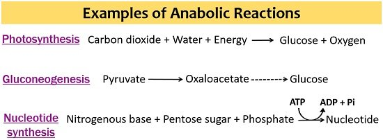 examples of anabolic reactions
