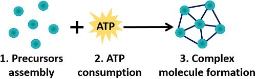 stages of anabolism