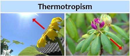 thermotropism