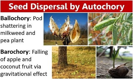 Seed dispersal by autochory