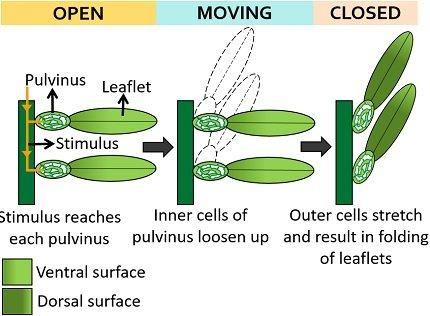 mechanism of nastic movement