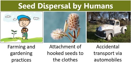 seed dispersal by humans