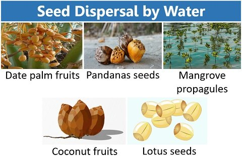 seed dispersal by water