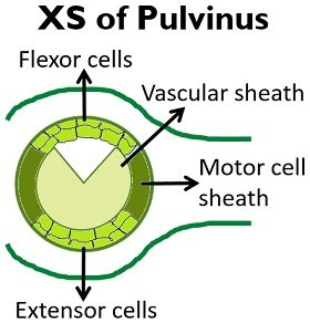 xs of pulvinus